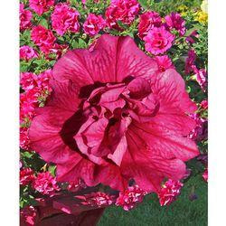 Petunia pełnokwiat. zwisająca – różowa 3 szt