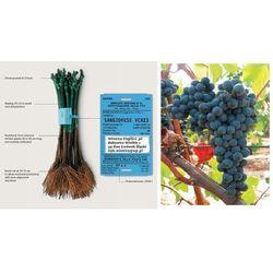 Sadzonka winorośli Cagnulari