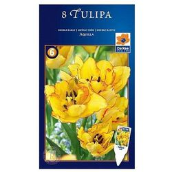 Tulipan Aquilla pełne późne