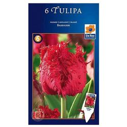 Tulipany Barbados