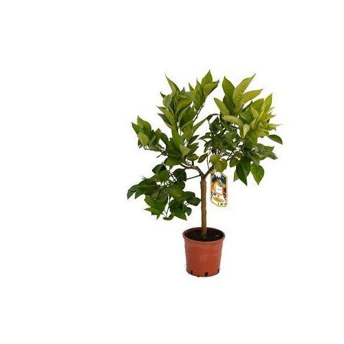 Pozostałe rośliny i hodowla, Pomarańcza Tarocco dal Muso drzewko