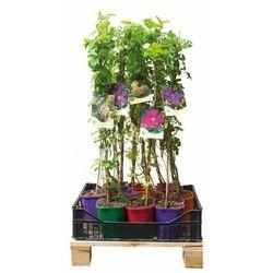 Powojniki dla początkujących - zestaw 10 roślin CLEMATIS