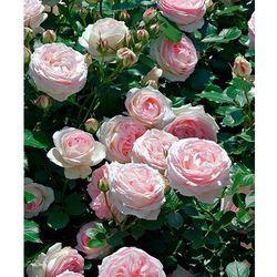 Róża parkowa Eden Rose® 1 szt