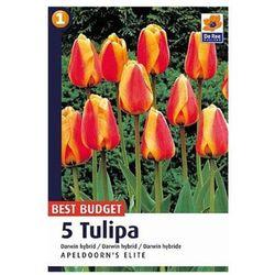 Tulipan Apeldoorns Elite